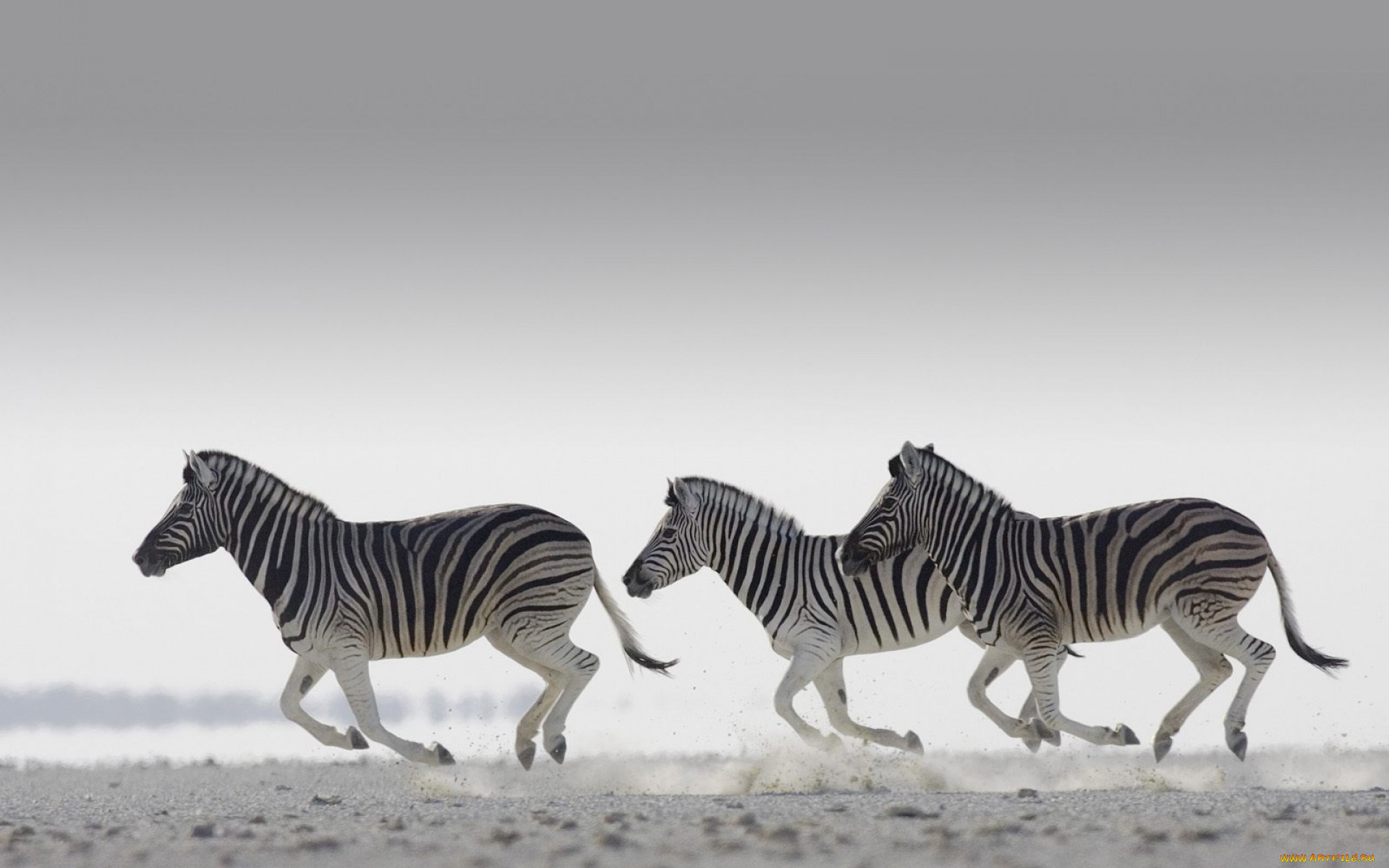 картинка зебра бежит таких обрядов